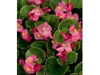 Бегония вечноцветущая (Begonia semperflorens) Ambassador F1 Rose (10 др)