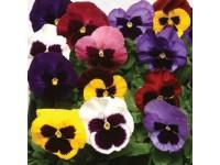Виола виттрока (Viola wittrockiana) Matrix Mix(5 шт )