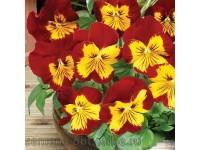 Виола виттрока (Viola wittrockiana) Panola XP Sunburst (5 шт)