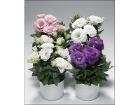 Эустома Мирмейд, смесь  расцветок(белая , розовая. фиолетовая) (семена своего сбора )20-30 шт  .