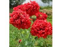 Мак пионоцветный (Papaver paeoniflorum) Red(20шт)